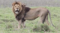 The Vanishing King of the Savannah