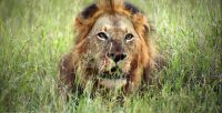 Brothers in Blood : Lions of Sabi Sand